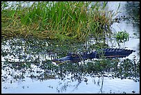 American Alligator in marsh. Everglades National Park, Florida, USA. (color)