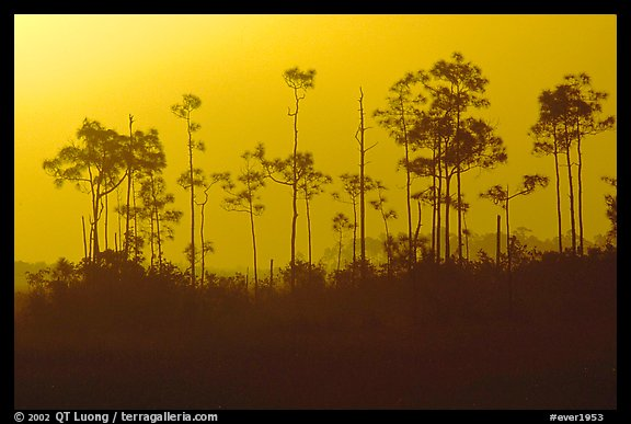 Foggy sunrise with pines. Everglades National Park (color)