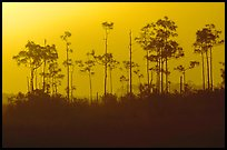 Foggy sunrise with pines. Everglades National Park, Florida, USA.