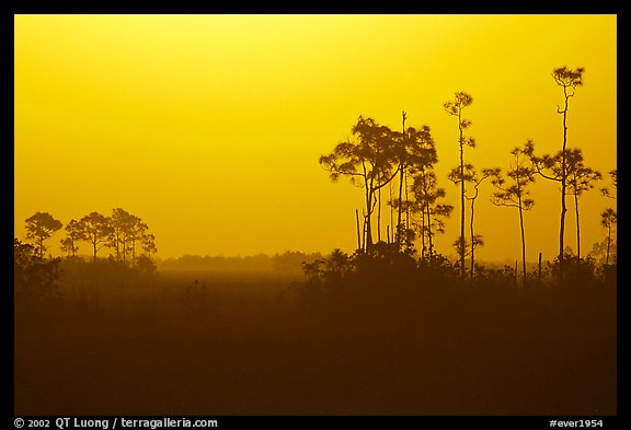 Slash pines in fog near Mahogany Hammock, sunrise. Everglades National Park (color)