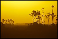 Slash pines in fog near Mahogany Hammock, sunrise. Everglades National Park, Florida, USA.