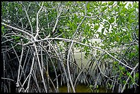 Red mangroves (Rhizophora mangle) on West Lake. Everglades National Park, Florida, USA. (color)