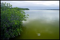 Mangrove shore of West Lake. Everglades National Park, Florida, USA.