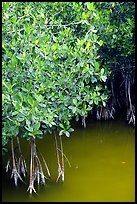 Detail of mangroves shrubs and colored water. Everglades National Park, Florida, USA.
