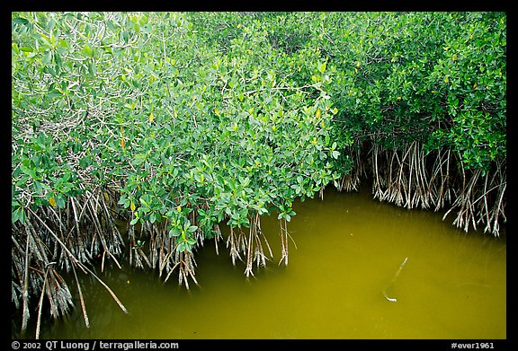 Red Mangroves gives swamp water a red color. Everglades National Park (color)