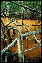 Mangroves giving the water a red color, Snake Bight trail. Everglades National Park ( color)