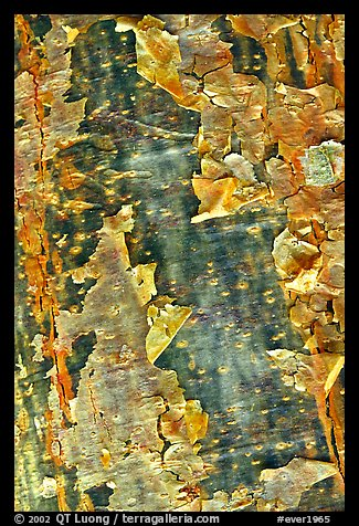 Peeling bark of the Gumbo Limbo tree. Everglades National Park (color)