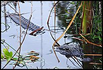 Alligator (Alligator mississippiensis). Everglades National Park, Florida, USA. (color)