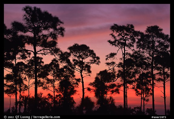 Slash pines silhouettes at sunrise. Everglades National Park (color)
