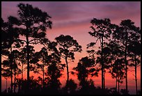 Slash pines silhouettes at sunrise. Everglades National Park, Florida, USA.