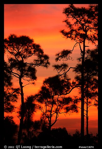 Slash pines against bright sunrise sky. Everglades National Park, Florida, USA.