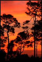 Slash pines against bright sunrise sky. Everglades National Park, Florida, USA. (color)