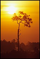 Slash pine and sun. Everglades National Park, Florida, USA. (color)