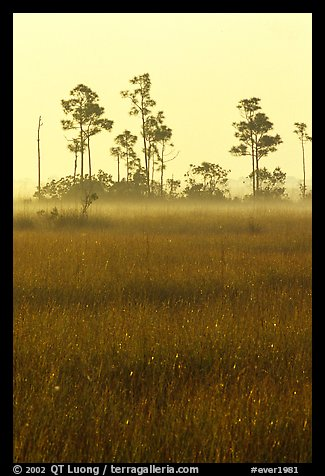 Slash pine trees, sawgrass prairie and fog at sunrise. Everglades National Park (color)