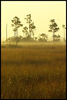 Slash pine trees, sawgrass prairie and fog at sunrise. Everglades National Park, Florida, USA.