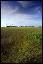 Sawgrass (Cladium jamaicense). Everglades National Park, Florida, USA. (color)