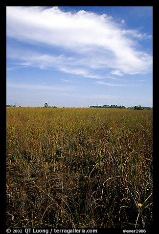 Sawgrass ecosystem with prairie and distant pines, near Mahogany Hammock. Everglades National Park, Florida, USA.