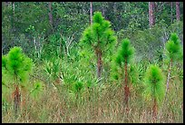 Young pines. Everglades National Park, Florida, USA.