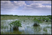 Mixed swamp environment with mangroves, morning. Everglades National Park, Florida, USA.