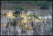 Grasses and Mangroves with sky reflections, sunrise. Everglades National Park, Florida, USA.