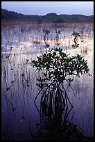 Mangroves several miles inland near Parautis pond, sunrise. Everglades National Park, Florida, USA. (color)
