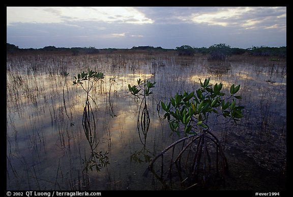 Red Mangroves (scientific name: Rhizophora mangle) at sunrise. Everglades National Park (color)
