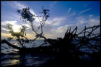Fallen mangrove tree in Florida Bay, sunrise. Everglades National Park, Florida, USA.