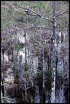 Cypress and swamp at Pa-hay-okee. Everglades National Park, Florida, USA. (color)