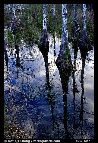 Pond Cypress reflections near Pa-hay-okee. Everglades National Park (color)