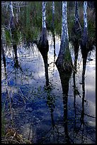 Pond Cypress reflections near Pa-hay-okee. Everglades National Park, Florida, USA. (color)