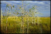 Cypress and sawgrass near Pa-hay-okee, morning. Everglades National Park, Florida, USA. (color)