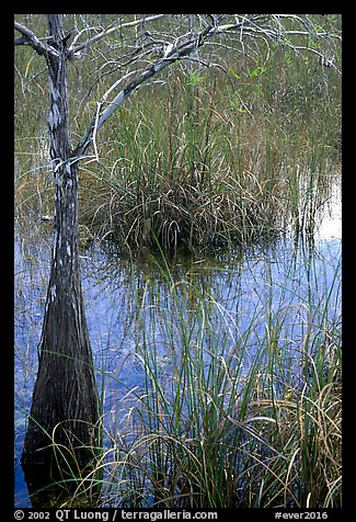 Swamp with cypress and sawgrass  near Pa-hay-okee, morning. Everglades National Park (color)