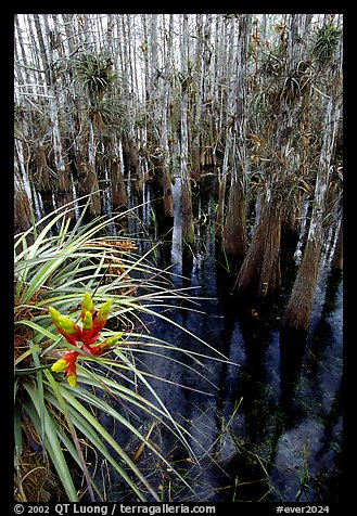 Cypress dome with bromeliad and cypress trees. Everglades National Park, Florida, USA.