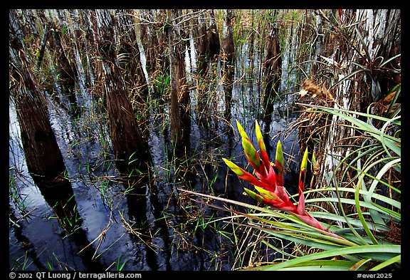 Bromeliad and bald cypress inside a dome. Everglades National Park, Florida, USA.