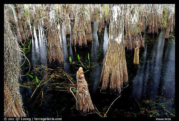 Cypress knees and trunks. Everglades National Park (color)