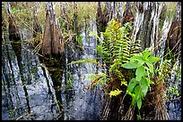 Swamp Ferns (Blechnum serrulatum) on cypress. Everglades National Park, Florida, USA.