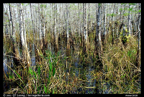 Bald cypress (Taxodium distichum). Everglades National Park (color)
