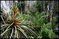 Bromeliad and swamp ferns inside a dome. Everglades National Park, Florida, USA. (color)