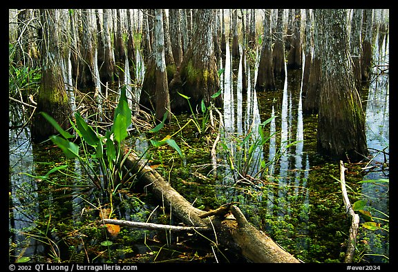 Freshwater marsh environment. Everglades National Park (color)