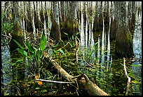 Freshwater marsh environment. Everglades National Park, Florida, USA. (color)