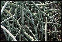 Black mangrove (Avicennia nitida) roots. Everglades National Park ( color)