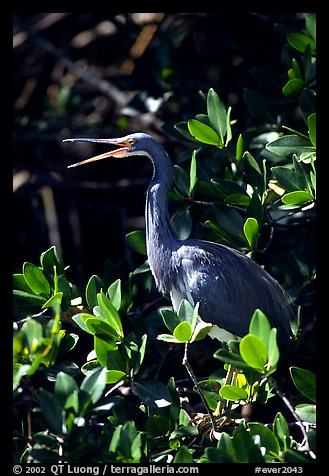 Tri-colored heron. Everglades National Park (color)