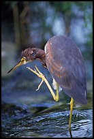 Tri-colored heron. Everglades National Park, Florida, USA.