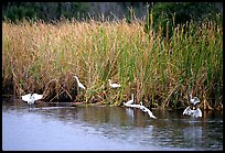 White Herons. Everglades National Park, Florida, USA. (color)