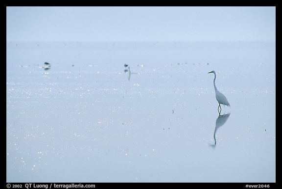 Great White Heron on bayshore. Everglades National Park (color)