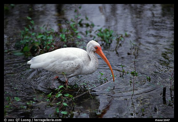 Ibis. Everglades National Park (color)