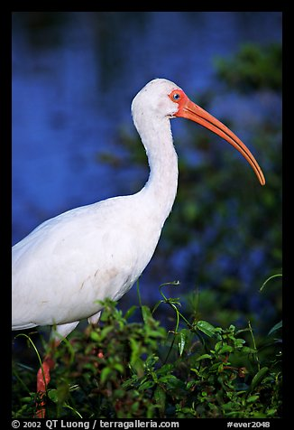White Ibis. Everglades National Park (color)