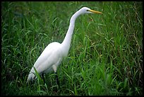 Great White Heron. Everglades National Park, Florida, USA.