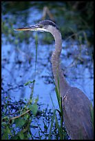Blue heron. Everglades National Park, Florida, USA.