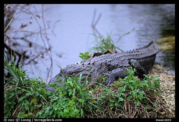 Alligator (scientific name: Alligator mississippiensis). Everglades National Park, Florida, USA.